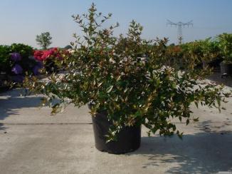 Abelia grandiflora | Abelia (12L pot)