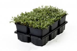 Acaena buchananii | Stekelnootje (pot 9x9cm) 6-pack