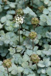 Acaena buchananii | Stekelnootje bloem