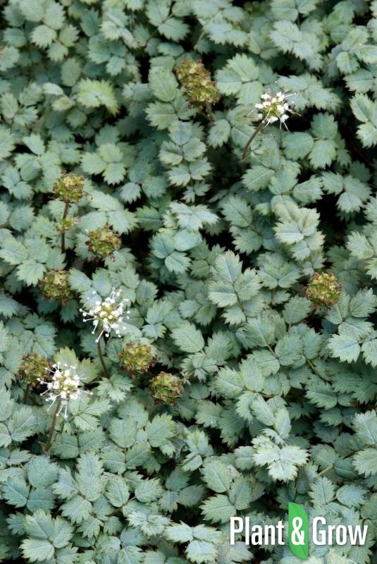 Acaena buchananii | Stekelnootje