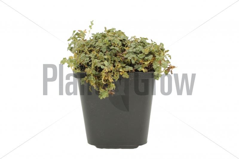 Acaena magellanica | Stekelnootje (pot 9x9cm)