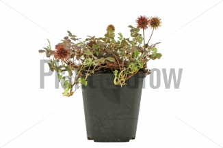 Acaena microphylla 'Kupferteppich' | Stekelnootje (pot 9x9cm) - ZOMER