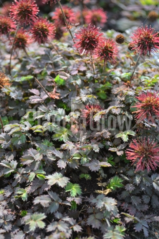 Acaena microphylla 'Kupferteppich' | Stekelnootje (pot 9x9cm)