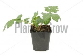 Acanthus mollis | Zachte acanthus (pot 9x9cm)