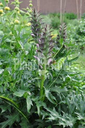 Acanthus spinosus | Stekelacanthus