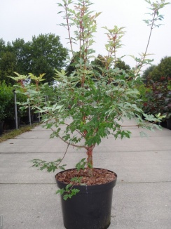 Acer griseum | Papieresdoorn (12L pot)
