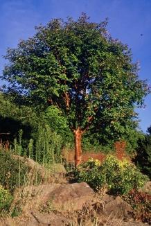 Acer griseum | Papieresdoorn als boom
