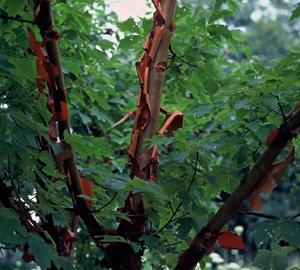 Acer griseum Papieresdoorn