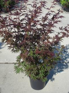 Acer palmatum 'Atropurpureum' | Japanse esdoorn (12L pot)