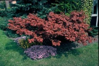 Acer palmatum 'Atropurpureum' | Japanse esdoorn