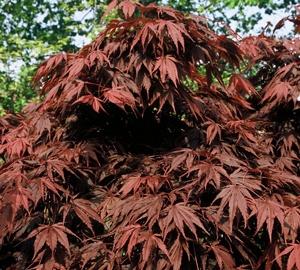 Acer palmatum 'Atropurpureum' Japanse esdoorn