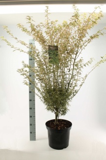 Acer palmatum 'Butterfly' | Japanse esdoorn (12L pot)