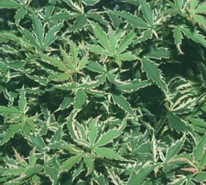 Acer palmatum 'Butterfly' Japanse esdoorn