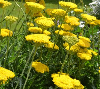 Achillea filipendulina 'Cloth of Gold' Duizendblad