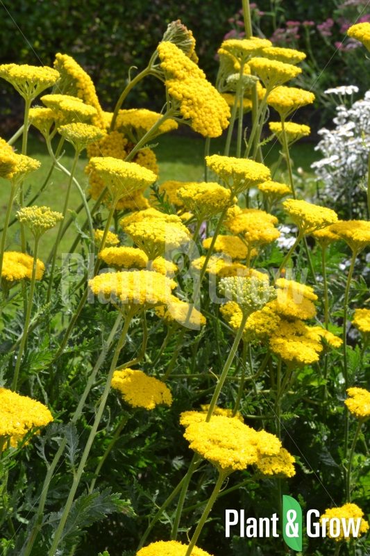 Achillea filipendulina 'Cloth of Gold' | Duizendblad