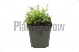 Achillea millefolium 'Cerise Queen' | Duizendblad (pot 9x9cm) - VOORJAAR