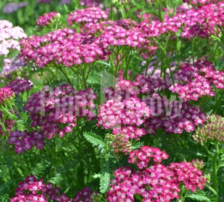 Achillea millefolium 'Cerise Queen' Duizendblad
