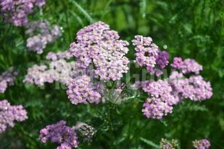 Achillea millefolium 'Cerise Queen' | Duizendblad (verschillende bloemkleuren aan één plant)