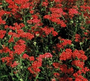 Achillea millefolium 'Paprika' Duizendblad