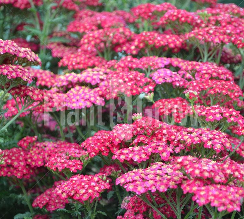 Achillea millefolium 'Red Velvet' Duizendblad