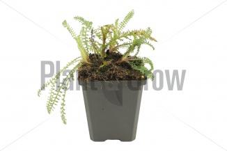 Achillea millefolium 'Red Velvet' | Duizendblad (pot 9x9cm) - VOORJAAR