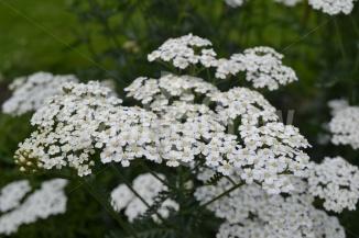 Achillea millefolium 'Schneetaler' | Duizendblad