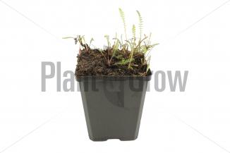 Achillea millefolium 'Schneetaler' | Duizendblad (pot 9x9cm) - WINTER