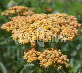 Achillea millefolium 'Terracotta' Duizendblad