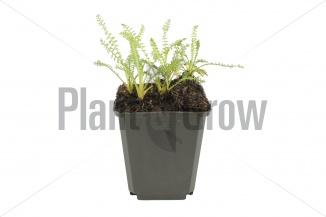 Achillea millefolium 'Terracotta' | Duizendblad (pot 9x9cm) - Voorjaar