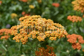 Achillea millefolium 'Terracotta' | Duizendblad