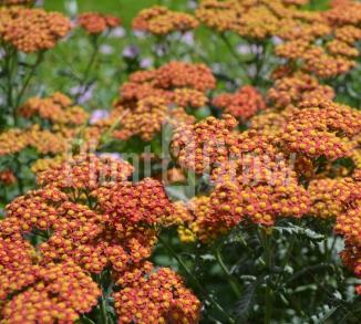 Achillea millefolium 'Walther Funcke'