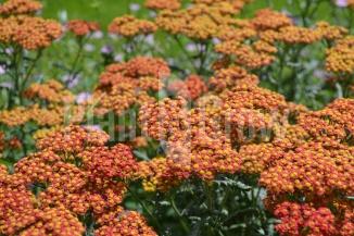 Achillea millefolium 'Walther Funcke'   Duizendblad