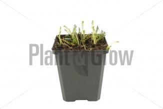 Achillea millefolium 'Walther Funcke' | Duizendblad (pot 9x9cm) - VOORJAAR