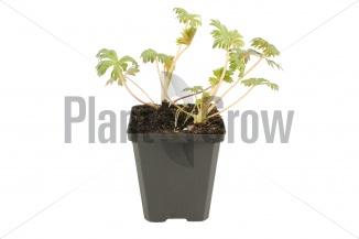 Aconitum carmichaelii 'Arendsii' | Monnikskap (pot 9x9cm) - VOORJAAR