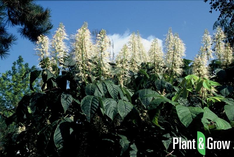 Aesculus parviflora | Herfstpaardenkastanje