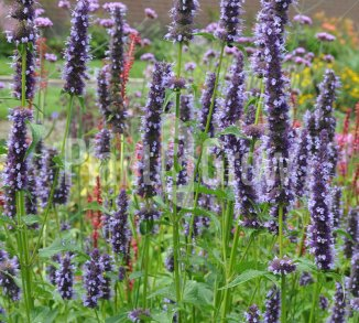 Agastache 'Black Adder' Dropplant