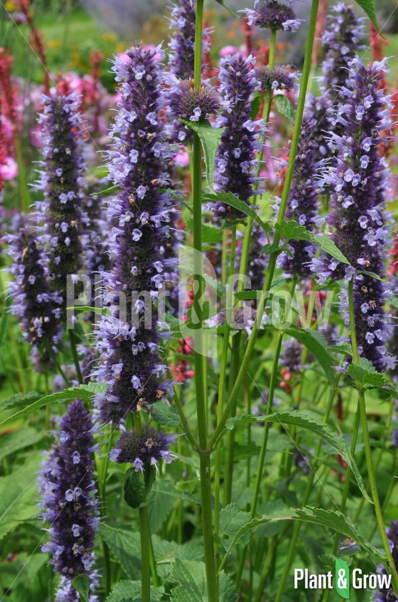 agastache 39 black adder 39 kopen plant grow. Black Bedroom Furniture Sets. Home Design Ideas