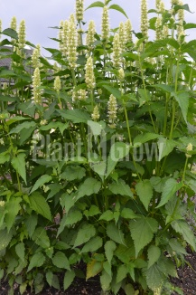Agastache rugosa 'Alabaster' | Dropplant