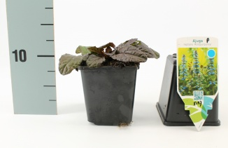 Ajuga reptans 'Atropurpurea' | Kruipend zenegroen (pot 9x9cm)