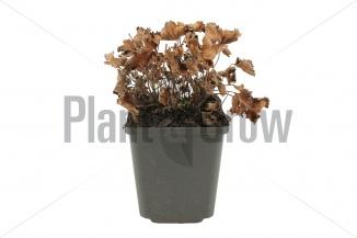 Alchemilla erythropoda | Dwergvrouwenmantel (pot 9x9cm) - WINTER