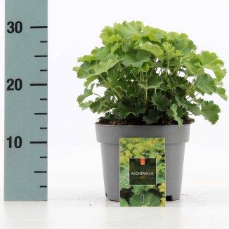 Alchemilla mollis | Vrouwenmantel (Ø 17cm pot)