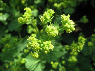 Bloemen van de Alchemilla mollis