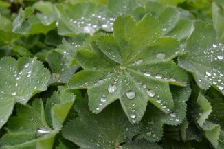 Waterdruppels op het blad van de Alchemilla mollis