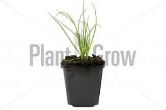 Allium schoenoprasum | Bieslook (pot 9x9cm) - VOORJAAR