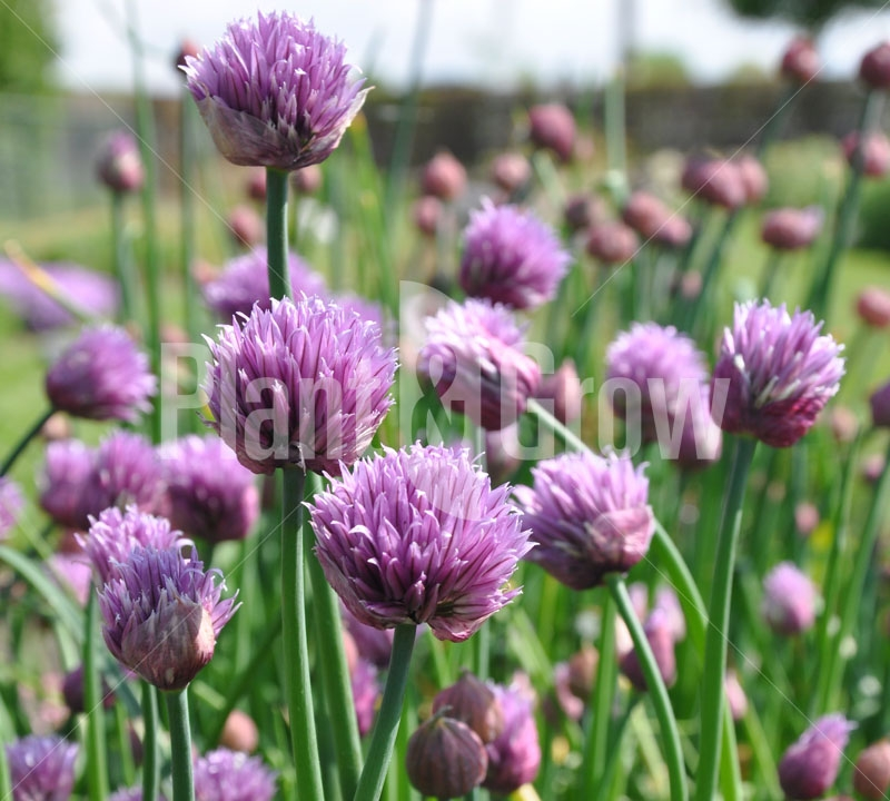 Allium schoenoprasum Bieslook
