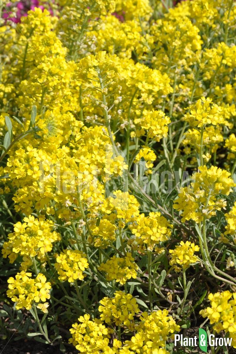 Alyssum montanum 'Berggold' | Schildzaad