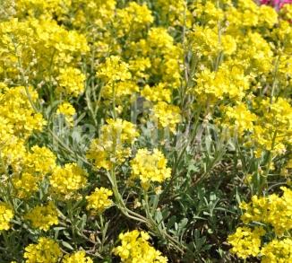 Alyssum montanum 'Berggold' Schildzaad