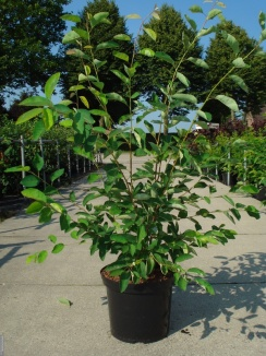 Amelanchier lamarckii | Krentenboom (12L pot)