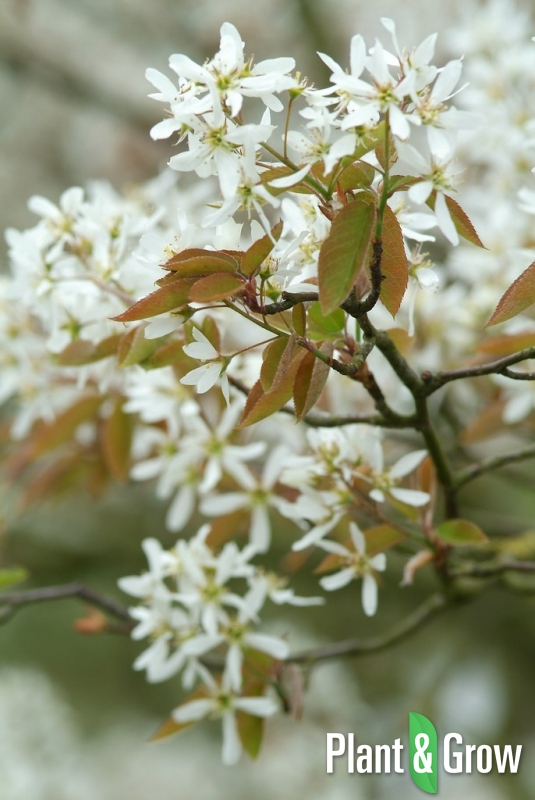 Amelanchier lamarckii | Krentenboom