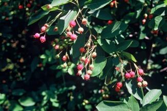 Amelanchier lamarckii | Krentenboom bes en blad